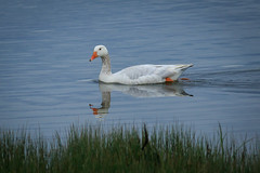 Hybrid Domestic Goose at Campbell River, British Columbia (Anne McKinnell) Tags: goose canadageese campbellriver bird animal wildlife