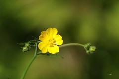 Renoncule âcre / Meadow Buttercup (alainmaire71) Tags: jaune yellow leur flower ranunculaceae renonculacées renonculeâcre nature quebec canada bokeh boutondor meadowbuttercup buttercup