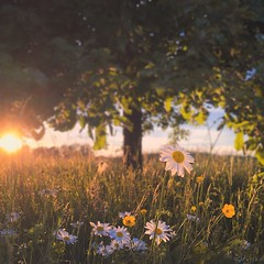 Apple Tree Sunset (M a r i k o) Tags: iphone iphonex iphoneography iphonephotography mobile mobilephotography mariko square tree appletree apfelbaum flowers blumen margeriten marguerite daisy grass leaves sun light sunset snapseed tadaaslr