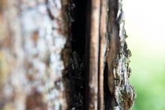 lizard_smooth (metallik_vash) Tags: lizard nature lucertola reptile