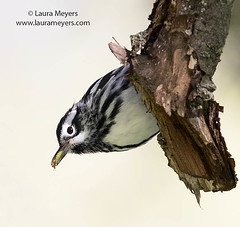 Black and White Warbler with Insect (Laura-Meyers) Tags: greenwoodcemetery blackandwhitewarbler