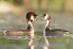 """""""The couple"""" -  La coppia (Simone Mazzoccoli) Tags: nature wild wildlife couple love spring light grebe colors pov water"""