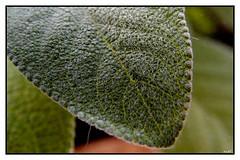 Particolare Foglia di Salvia (eagles2001it) Tags: foglia leaf macro particolare salvia