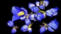 Rompendo o breu da noite (Parchen) Tags: flor flores cachodeflores azul azuis floresazuis florazul contraste contrastante fundo escuro preto negro fundoescuro fundopreto fundonegro luz foco rompendo breu irrompendo bela beleza bonita cacho foto fotografia imagem registro parchen carlosparchen