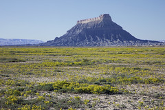 Blooms soften a stark landscape (Jeff Mitton) Tags: rockymountainstickseed cleomellapalmeria factorybutte utah coloradoplateau landscape mancosshale wildflower earthnaturelife wondersofnature