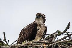 IMG_7541.jpg (Pete Andrusyszyn) Tags: capecod birds osprey 2019 westyarmouth ©peteraandrusyszyn