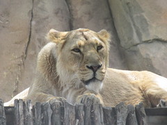 Asiatic Lion (Panthera Leo Persica), Land of the Lions, London Zoo, Regents Park, City of Westminster and Borough of Camden, London (3) (f1jherbert) Tags: canonpowershotsx620hs canonpowershotsx620 canonpowershot sx620hs canonsx620 powershotsx620hs canon powershot sx620 hs sx 620 powershotsx620 powershoths londonengland londonuk londongb londongreatbritain londonunitedkingdom london england uk gb united kingdom great britain greatbritain unitedkingdom londonzoo zsllondonzoo londonzooregentspark zoo zsl regents park londonzooregentsparkcityofwestminsterandboroughofcamdenlondon londonzooregentsparkcityofwestminsterandboroughofcamden cityofwestminster boroughofcamden regentspark city westminster borough camden zoological society zoologicalsocietyoflondon