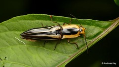 Click Beetle, Semiotus taeniatus, Elateridae (Ecuador Megadiverso) Tags: andreaskay beetle clickbeetle coleoptera ecuador elateridae semiotinae semiotustaeniatus