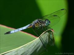 A truly happy person is one who can enjoy the scenery.... (itucker, thanks for 5+ million views!) Tags: macro bokeh green hggt hdt dragonfly bluedasherdragonfly bluedasher dukegardens