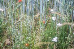 (kuuan) Tags: mf manualfocus canon ltm canonltmf1850mm m39 50mm f18 f1850mm ricoh gxr ricohgxrm mmodule wheat field poppy poppyflower mostviertel flowers wiese