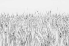 (kuuan) Tags: voigtländersnapshotskoparf425mm manualfocus mf voigtländer 25mm skopar f425mm alpenvorland niederoesterreich austria mostviertel ricoh gxr ricohgxrm mmodule wheat field bw monochrome