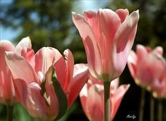 Tulipa gesneriana (Bouteillerie) Tags: bouteillerie botanique canon éclosion floral flower fleur fleurs garden horticulture jardin languageofflower languageofflowers printemps rosepink tulip tulipe végétal