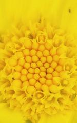 Coeur de fleur (Chocolatine photos) Tags: coeur jaune fleur macro makemesmile minimaliste macrounlimited flickr flickrelite flowers nikon bonnette