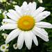 Oxeye Daisy - La Marguerite
