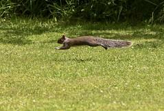 Passing Thru (Diane Marshman) Tags: graysquirrel squirrel large rodent gray black white tan fur bushy tail action motion movement running grass spring pa pennsylvania nature wildlife