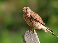 Kestrel (f) (robin denton) Tags: falcotinnunculus kestrel birdofprey bird falcon nature wildlife northyorkshire yorkshire