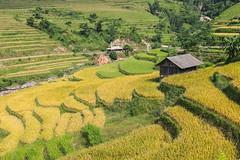 _J5K0921.0913.Sán Sả Hồ.Hoàng Su Phì.Hà Giang (hoanglongphoto) Tags: asia asian vietnam northvietnam northeastvietnam northernvietnam landscape scenery vietnamlandscape vietnamscenery terraces terrcedfields terracedfieldsinvietnam seasonharvest flankshill house home onehome one canoneos1dsmarkiii zeissdistagont235ze đôngbắc hàgiang hoàngsuphì sánsảhồ ruộngbậcthang lúachín mùagặt ruộngbậcthanghoàngsuphì hoàngsuphìmùagặt hoàngsuphìmùalúachín ngôinhà mộtngôinhà sườnđồi