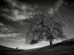 A Tree and a Cow (StefanB) Tags: california tree outdoor hiking treescape 2018 em5 1235mm calerocountrypark clouds cow