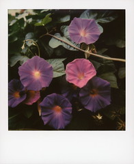 Hollywood Spring - Morning Glory (tobysx70) Tags: polaroid originals color 600 instant film slr680 hollywood spring morning glory primrose avenue beachwood canyon hills los angeles la california ca flower plant purple pink petal green leaves convolvulaceae bokeh toby hancock photography