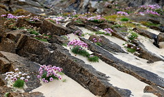 Splash of pink (mootzie) Tags: rocks sand beach flowers sea pink thrift eoropie lewis ness scotland