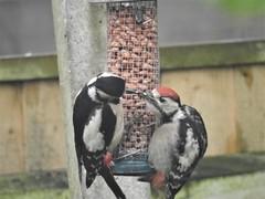 Mum feeding young woodpecker (blue33hibiscus) Tags: greatspottedwoodpecker mumfeedingyoung garden peanuts somerset bbcspringwatch
