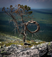 Witch tree (Cerad_K) Tags: fell nordic lapland noitatunturi witch pine tree forests finland