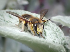 Anthidium manicatum (Stefan Verheyen) Tags: stachysbyzantina bee solitary belgium macro insect