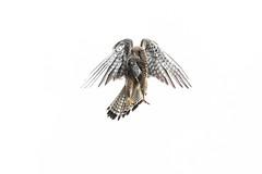 R19_1804-2 (ronald groenendijk) Tags: cronaldgroenendijk 2019 rgflickrrg animal bird birds birdsofprey copyrightronaldgroenendijk europe falcon kestrel nature natuur natuurfotografie netherlands outdoor ronaldgroenendijk roofvogels tinnunculus torenvalk vogel vogels wildlife