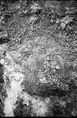 looking down, spring water, gushing, forest, Lakey Gap Heights, Black Mountain, NC, Olympus XA, Foma Retropan 320, HC-110 developer, 6.10.19 (steve aimone) Tags: lookingdown water spring springwater gushing forest lakeygapheights blackmountain northcarolina olympusxa fomaretropan320 hc110developer compactcamera rangefinder 35mm 35mmfilm film monochrome monochromatic blackandwhite landscape