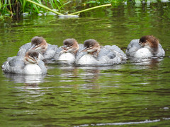 The Gang #2 (Pendlelives) Tags: goosander male female bird birds diving duck ducks river canal pendle water reflections vibrant wildlife nature countryside pretty fluffy juvenile juveniles adult chicks pendlelives nikon p1000 raining rain wet green background