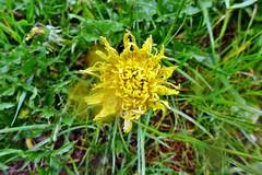 sogar Löwenzahn mag keinen Dauerregen (mama knipst!) Tags: löwenzahn dandelion eifel