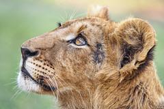 Profile of Nigel (Tambako the Jaguar) Tags: lion big wild cat male young cub profile portrait face close looking eyes pretty grogeous lionsafaripark johannesburg nikon d5