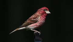 Summer Colors (Diane Marshman) Tags: male adult mature small songbird purplefinch purple finch red head chest body brown white wings tail feathers blackbackground spring pa pennsylvania nature wildlife birding