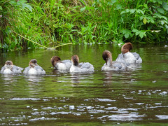 Can tell who the females are! (Pendlelives) Tags: goosander male female bird birds diving duck ducks river canal pendle water reflections vibrant wildlife nature countryside pretty fluffy juvenile juveniles adult chicks pendlelives nikon p1000 raining rain wet green background