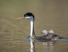 Western Grebe with Chicks (Insu Nuzzi) Tags: 2019 grebes lakehodges