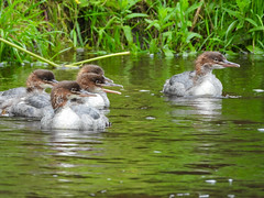 Goosanders (Pendlelives) Tags: goosander male female bird birds diving duck ducks river canal pendle water reflections vibrant wildlife nature countryside pretty fluffy juvenile juveniles adult chicks pendlelives nikon p1000 raining rain wet green background