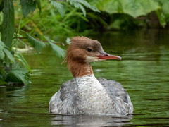 Goosander adult (Pendlelives) Tags: goosander male female bird birds diving duck ducks river canal pendle water reflections vibrant wildlife nature countryside pretty fluffy juvenile juveniles adult chicks pendlelives nikon p1000 raining rain wet green background
