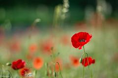 10062019-DSC_0013 (vidjanma) Tags: bokeh champ coquelicots fleurs