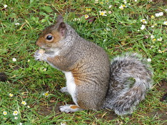 IMG_1735 (belight7) Tags: eating squirrel park uk england nature