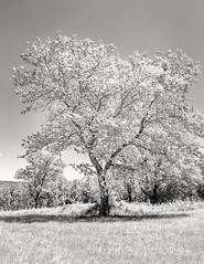 . (Ryan Duffy2009) Tags: canon6d 6d canonef24105mmf4lisusm dslr canon landscape nature tree bw blackandwhite black white monochome sepia tone toned sharp 24 105 24105 24105mm