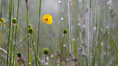 The Last One (ej - light spectrum) Tags: flower blume yellow gelb bokeh dewdrops switzerland schweiz nature natur olympus omd em5markii mzuiko macro makro spring frühling