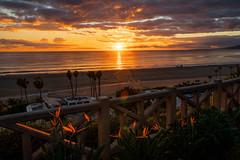 Birds of Paradise at Sunset (Kurt Lawson) Tags: strelitzia backlight beach birdofparadise birdsofparadise bluff crane flower flowers ocean orange pacific santamonica sunset