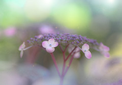 Rainy season (Tomo M) Tags: hydrangea flower nature texture bokeh 紫陽花