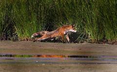 The Fox (steffiwacker) Tags: vulpes fuchs füchse nature