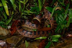 Red-Banded Snake 4 (Bob Hawley) Tags: nature animals asia nocturnal wildlife snakes reptiles herpetology nikond7100 nighttime creatures nantoucounty wujie dinodonrufozonatum redbandedsnake nikon28105mmf3545afd lycodonrufozonatum