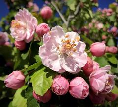 Blossoms (__ PeterCH51 __) Tags: flowers spring springflowers pink blossoms pinkblossoms pinkflowers flower blossom pinkflower frühling blüten frühlingsblüten macro makro closeup springseason seasons springtime iphone peterch51 newmexico taos rosablüten
