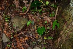 Among the Pine Needles (Bob Hawley) Tags: herpetology snakes reptiles animals asia wildlife nature nikond7100 nocturnal nikon28105mmf3545afd nantoucounty wujie creatures nighttime redbandedsnake dinodonrufozonatum lycodonrufozonatum