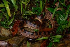Red-Banded Snake 3 (Bob Hawley) Tags: herpetology snakes reptiles animals asia wildlife nature nikond7100 nocturnal nikon28105mmf3545afd nantoucounty wujie creatures nighttime redbandedsnake dinodonrufozonatum lycodonrufozonatum