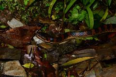 Red-Banded Snake 1 (Bob Hawley) Tags: herpetology snakes reptiles animals asia wildlife nature nikond7100 nocturnal nikon28105mmf3545afd nantoucounty wujie creatures nighttime redbandedsnake dinodonrufozonatum lycodonrufozonatum