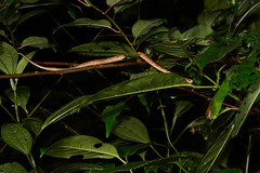 Young Slug Snake (Bob Hawley) Tags: herpetology snakes reptiles animals asia wildlife nature nikond7100 nocturnal nikon28105mmf3545afd nantoucounty wujie creatures slugsnake pareaskomaii trees endemicspecies nighttime